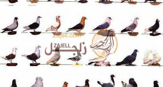 تعرف على أنواع الحمام المتوفر في دولة المغرب