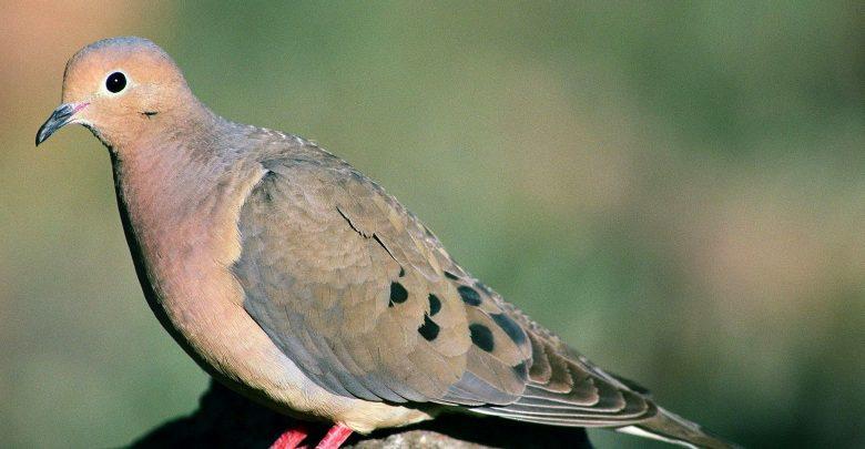 علاج زكام الطيور المعدي