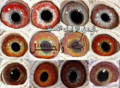 بالصور..معلومات هامة عن تركيب عيون الحمام