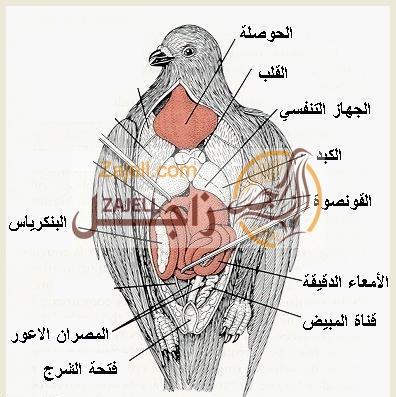 ملف كامل عن الجهاز العضلي للحمام
