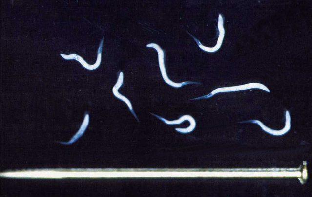 علاج الديدان الخيطية للحمام