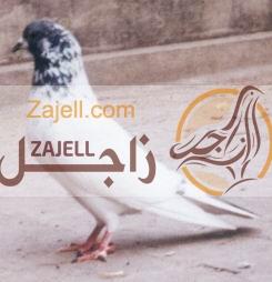 بالصور أنواع الحمام الباكستاني