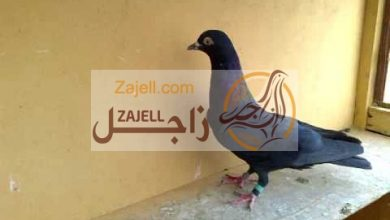 مواصفات حمام اللوت العربي