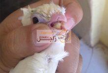 علاج مرض الكنكر عند الحمام