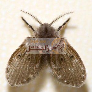 علاج حشرات الحمام