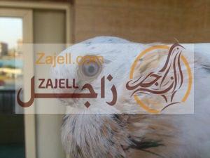 سعر حمام صافي في مصر خلال عام 2018