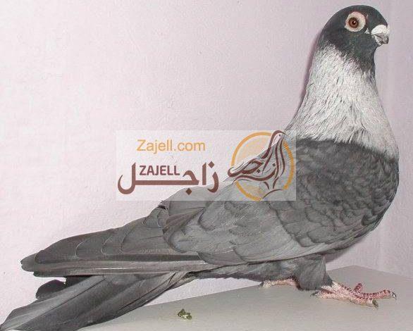 سعر الحمام القطقاطي في مصر