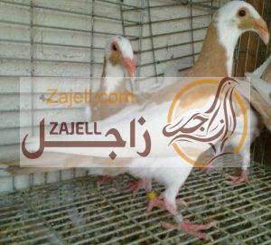 سعر حمام اسكندرون في مصر خلال عام 2018