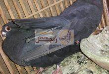 سعر حمام أسود غزار في مصر خلال 2018
