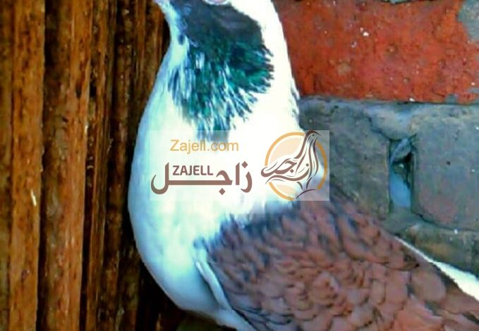 سعر حمام قشر بندق في مصر خلال عام 2018