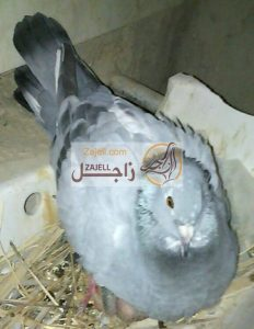 سعر الحمام الرومي في مصر