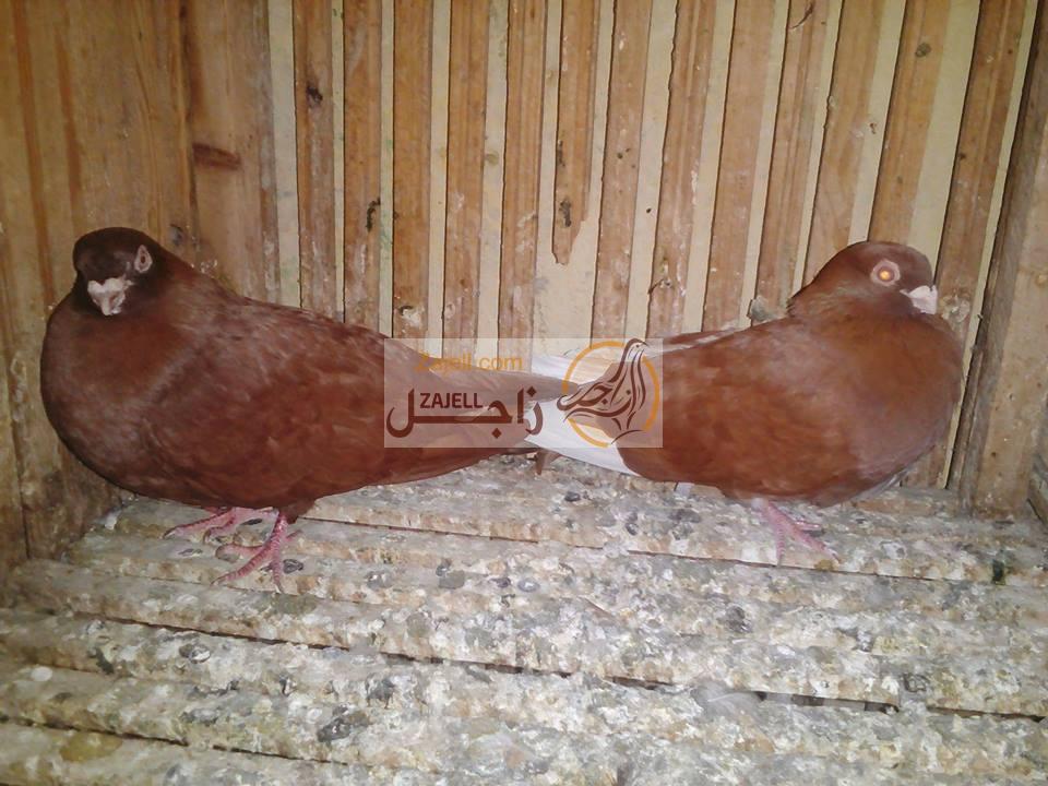 سعر حمام أحمر غزار مرقعات في مصر نوفر لكم اليوم من خلال موقع زاجل لتربية وعناية أنواع