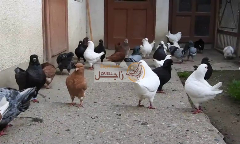سعر الحمام الكنج في مصر