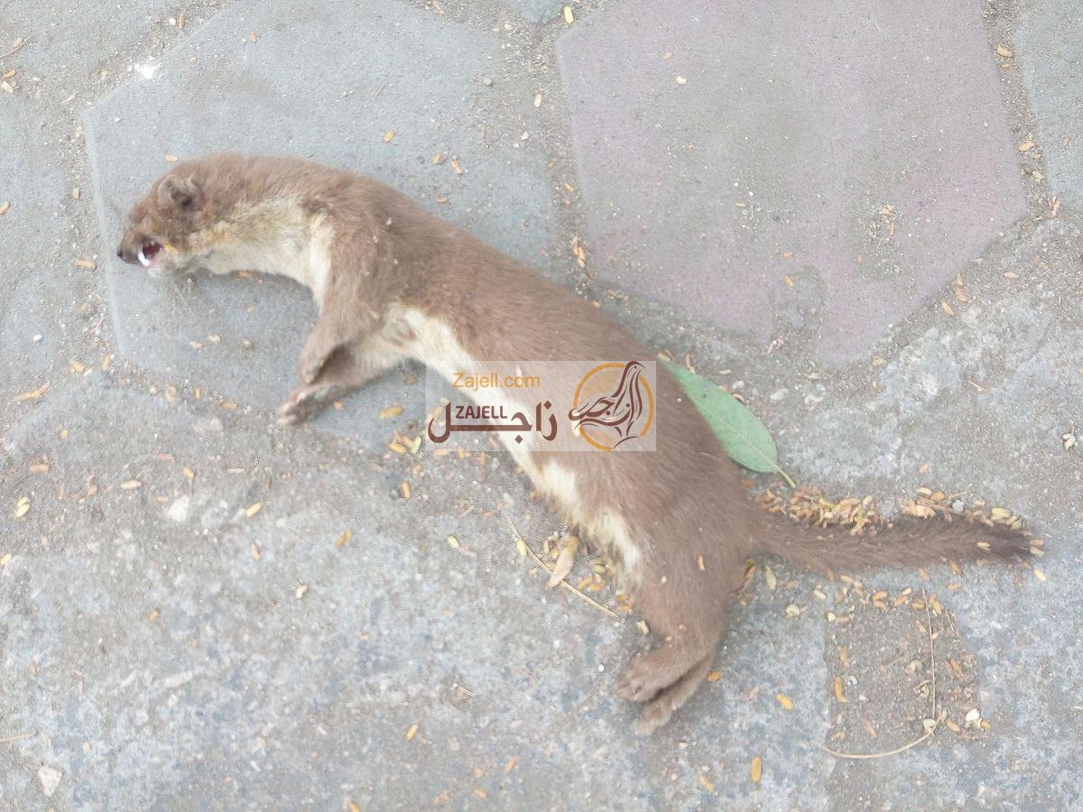 Photo of كيفية التخلص والقضاء على العرسة
